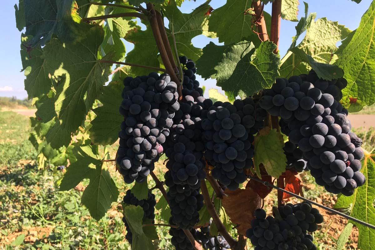 Pinot Noir in de Bourgogne